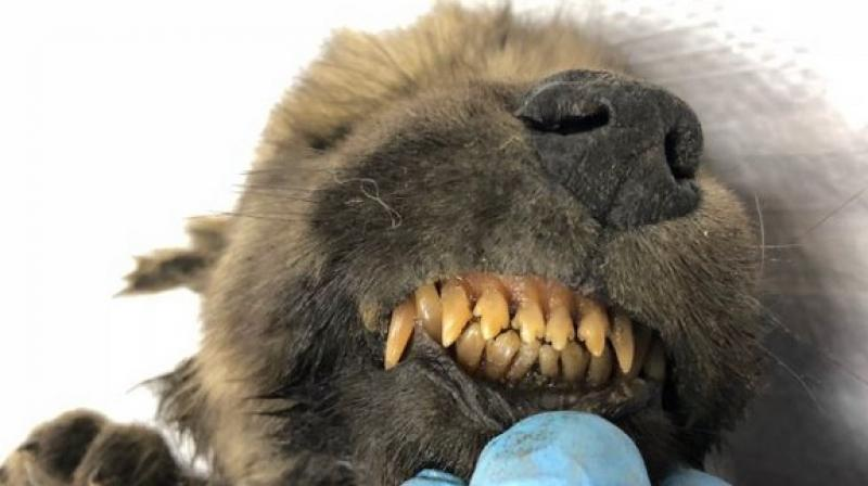 The scientist, who discovered the 18,000-year-old creature, said on Twitter that they will be calling it 'Dogor', which means 'friend' in Yakutian. (Photo: ANI)