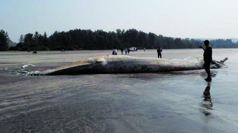 The dead whale.  (Photo: Abhinay Kelaskar)