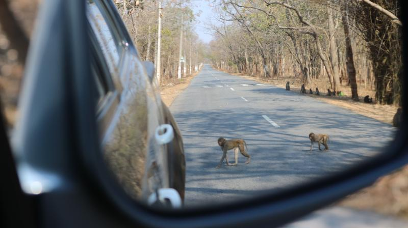 File picture of monkeys waiting for food delivery on the road to Srisailam passing through Amrabad Tiger Reserve.