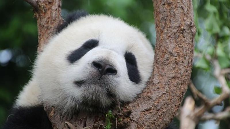 In addition to their valuable dung, pandas also produce 50 kilogrammes of food waste every day from the bamboo husks they spit out after chewing.(Photo: Pixabay)
