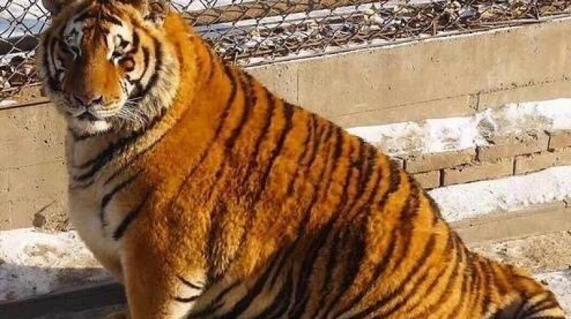 The staff says that tigers putting on weight in winter is a common thing (Photo: Facebook)