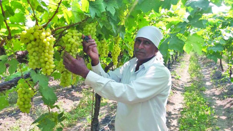 Exports to European markets will begin in January and will continue till April 10, according to Jagannath Khapare, president of Grape Exporters Association of India (GEAI).