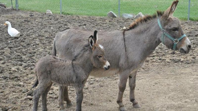 In the annual fair, held near the banks of Kshipra river, the donkeys were brought for sell from the states like Maharashtra, Rajasthan, and Gujarat besides from Madhya Pradesh. (Photo: File/Representational)