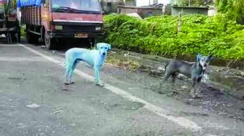 In August, a stray dog turned blue in Kharghar due to chemical effluents from an industrial unit in Taloja.