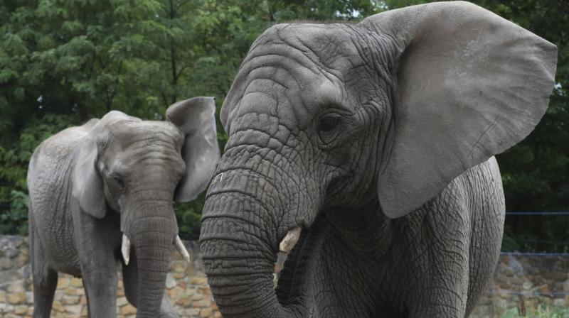 Warsaw zoo's two female elephants, Fredzia, right, and Buba, are shown in their enclosure in Warsaw, Poland, Friday, Aug. 28, 2020. Scientists at Warsaw's zoo have been taking blood, saliva and other samples from the zoo's three elephants in recent days in preparations to test whether giving them hemp oil can reduce their stress.(AP)