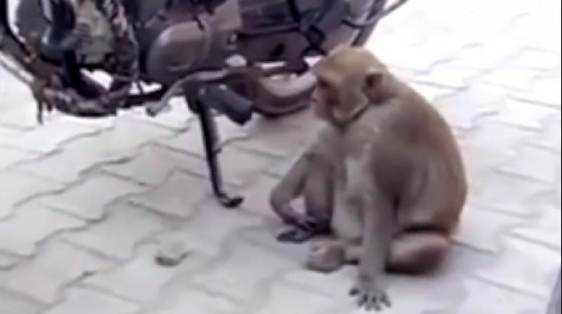 Such high consumption of petrol made the monkey constantly high (Photo: YouTube)