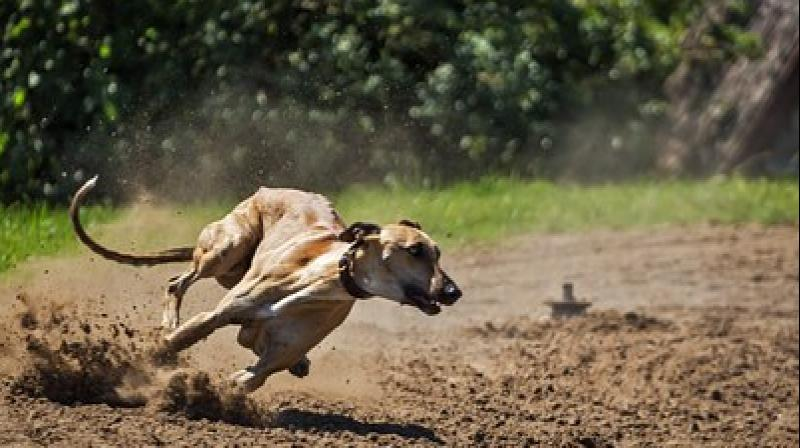 Her charity Birmingham Greyhound Protection has received £3,000 in donations. (Photo: Pixabay)