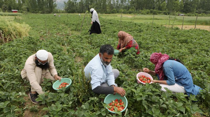 r: Farmers harvest strawberries in a field, during the ongoing nationwide lockdown to contain the spread of coronavirus, in Srinagar, Wednesday. PTI photo