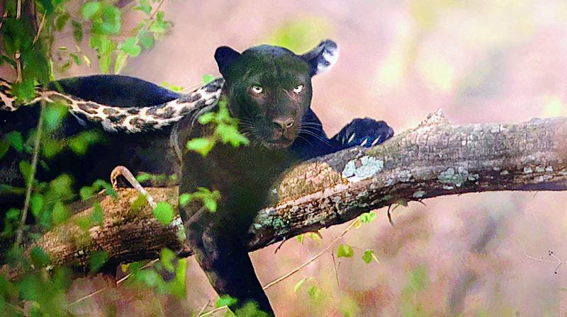Black Panther clicked by Shaaz Jung