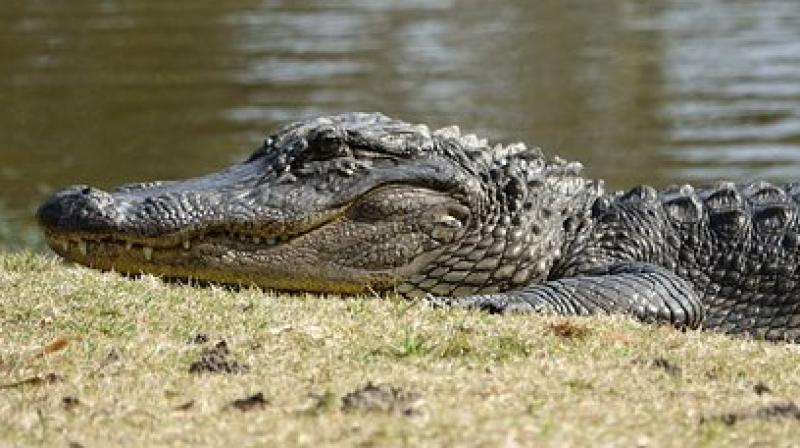 Humans and crocodiles sharing the same space has resulted in multiple run-ins, in which people have been killed or mangled by the animals. (Photo: Representational)