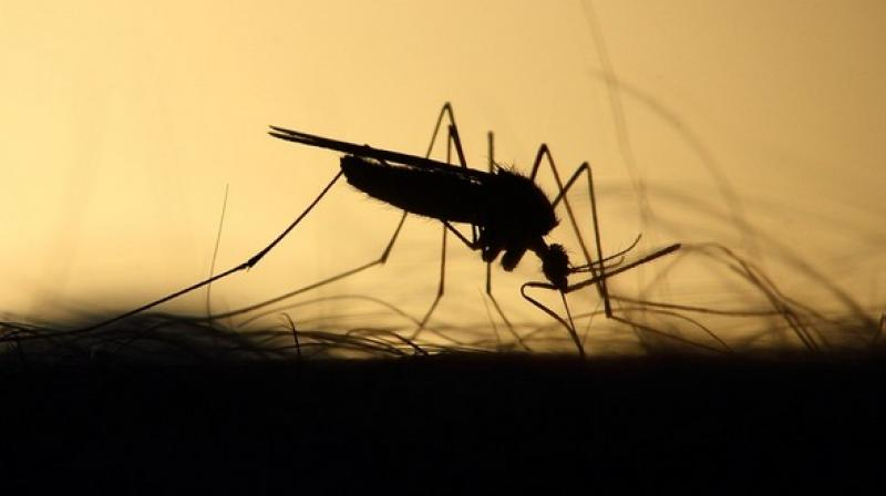 Dengue fever is transmitted by mosquitoes found in many areas in the world, including in the African countries. (Photo: ANI   Representational)