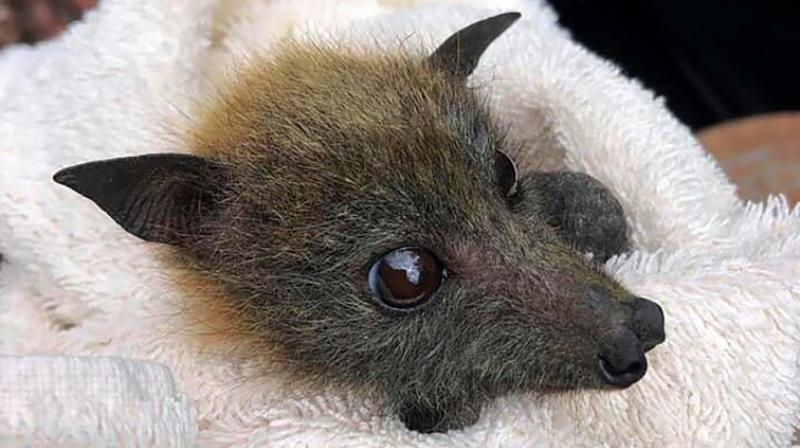 Thousands of flying foxes died across Australia during the last southern hemisphere summer in a series of colony collapses caused by heat stress. (Photo: AFP)