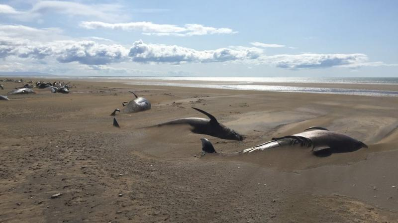 The whales are believed to have swum ashore at the same time and died of dehydration. (Photo: AP)