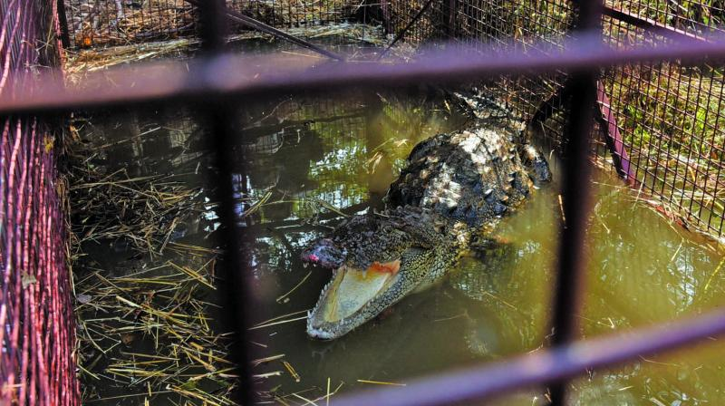 The rescued crocodile. (Photo: DEEPAK KURKUNDE)