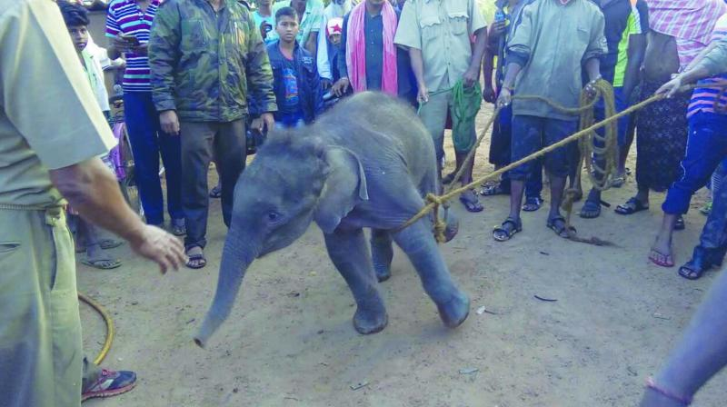 An elephant calf which strayed into human habitation in search of water and fell into a well at Khurda near Bhubaneswar.
