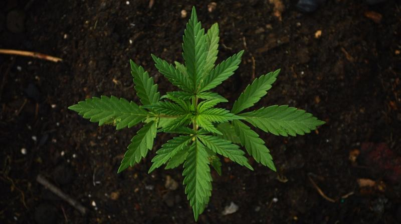 Cannabidiol also inhibits an enzyme that metabolises neurotransmitters produced throughout the central nervous system, including the brain. (Photo: Representational/Pixabay)
