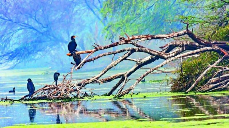A flight of Great Cormorants perch on the ruins of a tree by a lake at Keoladeo Ghana Bird Sanctuary in Rajasthan's Bharatpur.