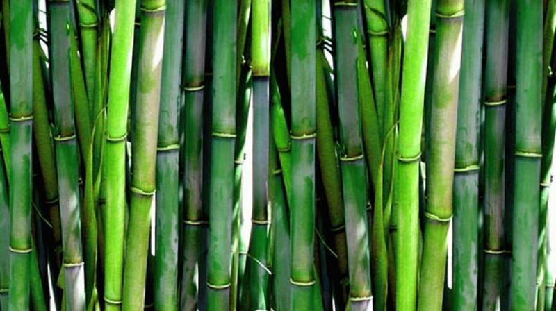 The Moso bamboo does not show any growth at all for five years, despite careful watering and nurturing. Then, as if by magic, it begins growing at the rate of over two feet daily, reaching an incredible 90 feet within six weeks. (Photo: ANI)