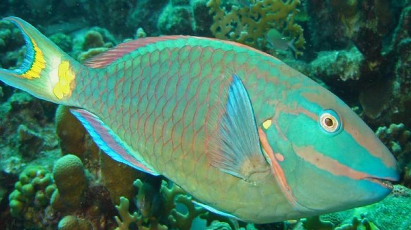 Parrotfish presence in large numbers on damaged reefs very likely helps the process of repair, Taylor and his colleagues suggest.(Photo: ANI)
