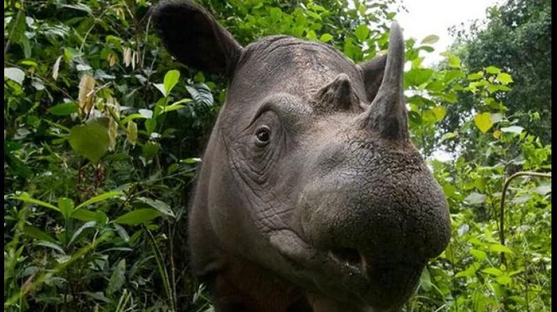Malaysia's last male Sumatran rhino died in May this year. (Photo: Twitter)