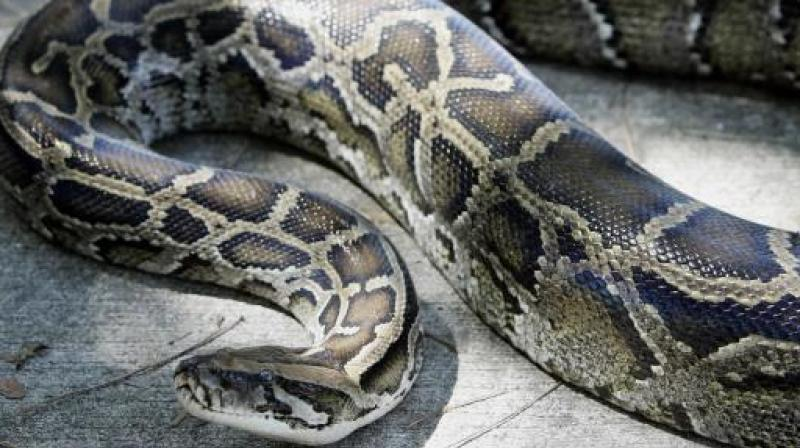 'It was venomous and if it had retaliated or if any portion of its venom had entered his bloodstream, it could have been fatal for Kushwaha,' doctor said. (Photo: AFP | Representational)