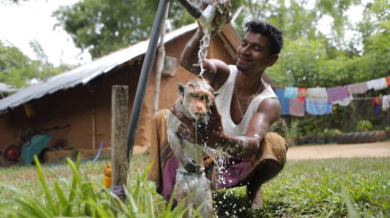 A Sri Lankan Telugu man Masannage Raja bathes his monkey Raju in Kalawewa, Sri Lanka. (AP)