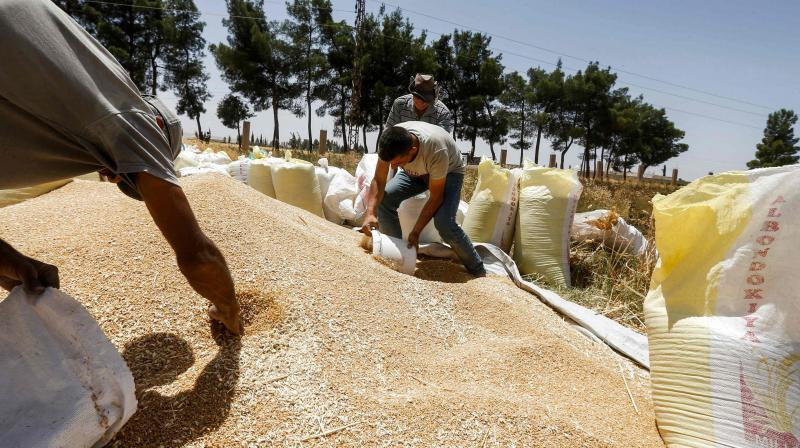 A farmer collects wheat kernels into a bucket before being poured into sacks during the harvest season, in a field in the countryside of al-Kaswa, south of Syria's capital Damascus. (AFP)