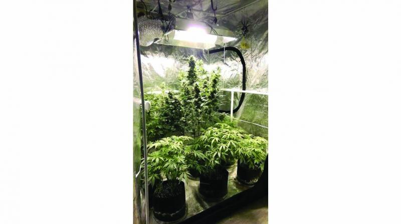 Cannabis pots at the accused's home.