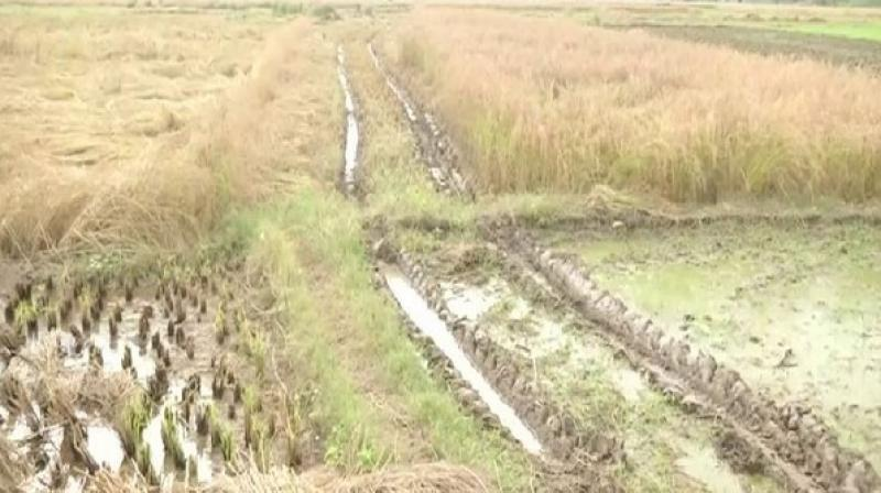 The district has 14,409-hectare arable land out of which 11,000-hectare land is sown with paddy. (Photo: ANI)