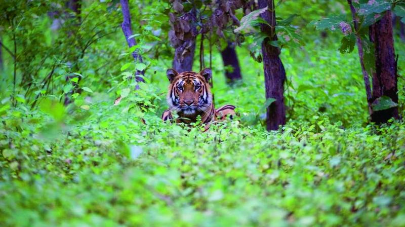 Tigers are extremely territorial, so they will fight other animals and even other tigers that invade their space.