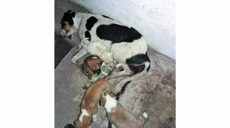The female stray, Bindu, who had recently delivered seven puppies, died of trauma.