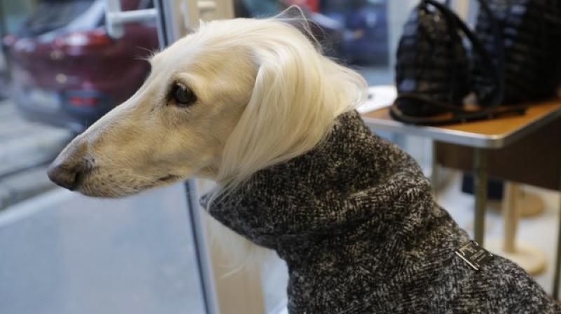 Dog a Porter, by the Milan brand Temellini, offers clothing custom-fit for different breeds. (Photo: AP)