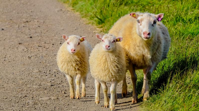 """""""Baa Baa Land"""" - billed by its makers as the dullest movie ever made. (Photo: Pexels)"""