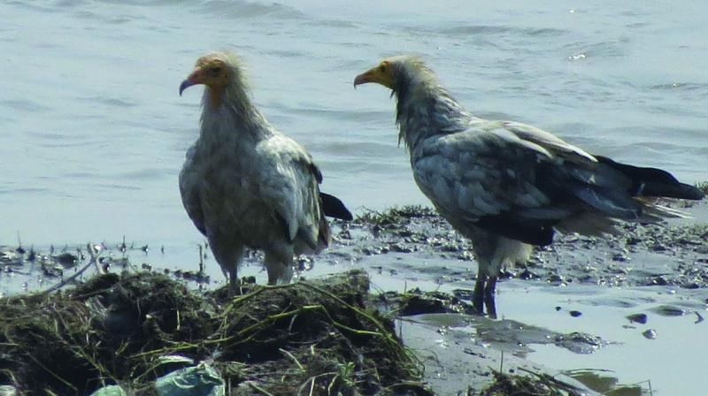 A pair of Egyptian vultures