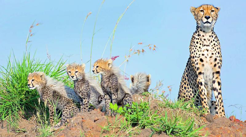 A Cheetah and cubs