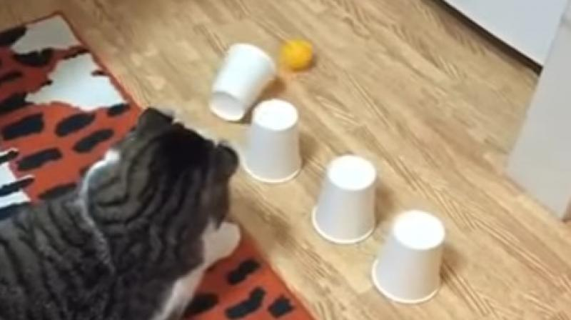 The cat first plays the game with three cups and then with four but gets it right always. (Photo: Youtube/Adil)