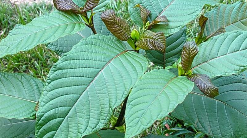 Kratom was listed as a cause or contributing factor in the death of four decedents identified by the County Medical Examiner's Office. (Photo: ANI)