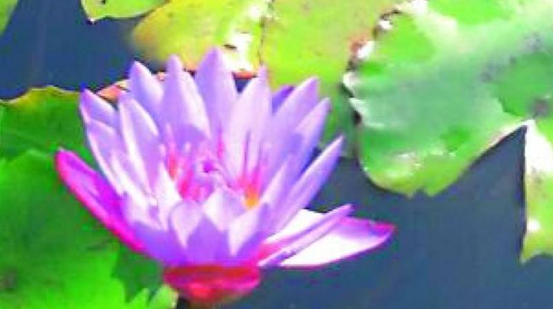 Blue Lotus Of Mansarovar Fame Blooms In Raipur