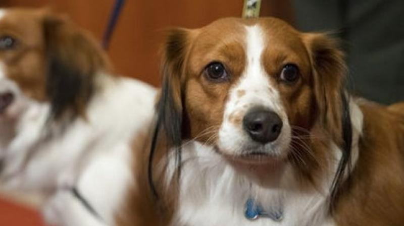 Nederlandse kooikerhondje, Escher, right, and Rhett are shown during a news conference at the American Kennel Club headquarters, Wednesday, Jan. 10, 2018, in New York. The club announced that it's recognizing the Nederlandse kooikerhondje and the grand basset griffon Vendeen. (Photo: AP)