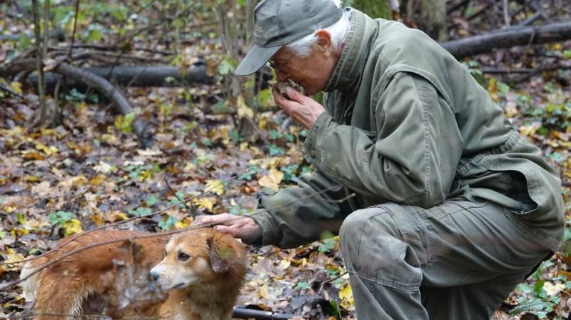 Through a carpet of wet autumn leaves and muddy earth, the dog picks up the sweet, distinctive aroma of a white truffle and signals his find by rapidly digging on the surface. (Photo: AP)