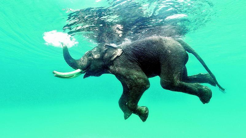 Rajan, a tusker swims at Radhanagar Beach in Andamans