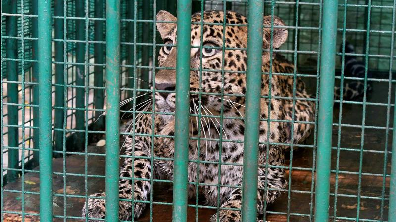 Forest department personnel and police began a search for a leopard spotted in Andheri in Mumbai in the early hours of Sunday. (PTI Photo)