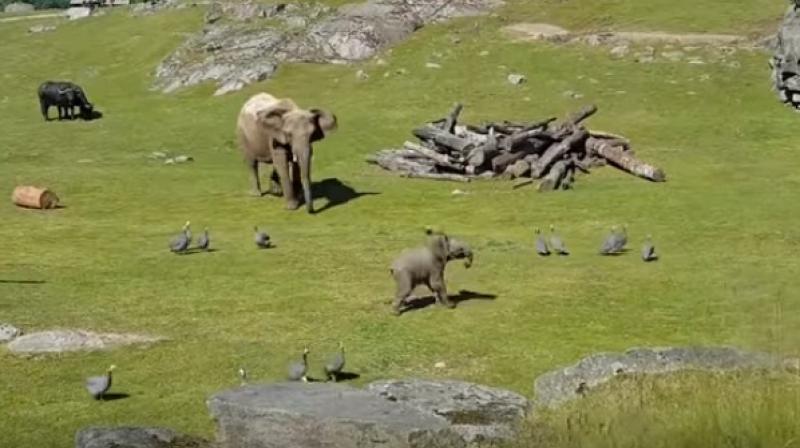 baby elephant chasing around the guinea fowl (Photo: Youtube)