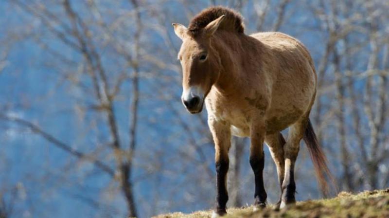 Mongolian wild horse (Photo: Facebook)
