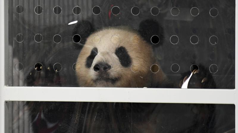 Giant panda Meng Meng looks out of its container after the arrival from China at the airport Schoenefeld near Berlin, Saturday, June 24, 2017. Two giant pandas from China have landed safely in Berlin where they are being welcomed by the German capital's mayor and the Chinese ambassador. Meng Meng and Jiao Qing were treated like royalty on their 12-hour-flight from Chengdu in southwestern China — their entourage included a Berlin veterinarian, two Chinese zookeepers and traveling press. The German capital is going nuts over the cute bears, which will first be presented to the public at the zoo on July 6. (Ralf Hirschberger/dpa via AP)