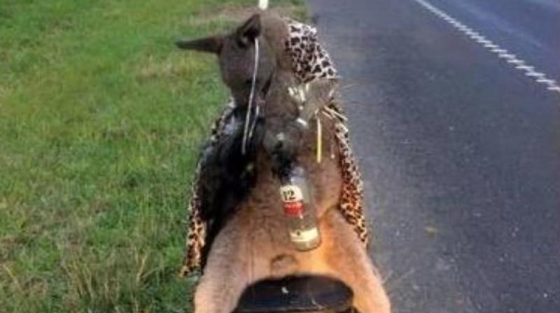 Image of the kangaroo killed and dressed up (Photo: AFP)
