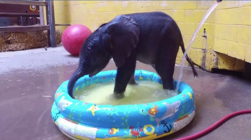 Baby elephant discovers the joys of paddling pool (Photo: Facebook)