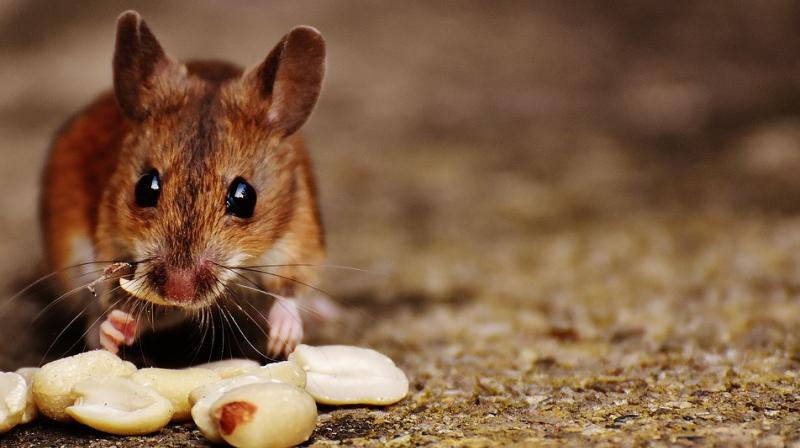 Mice exposed to other males from a young age