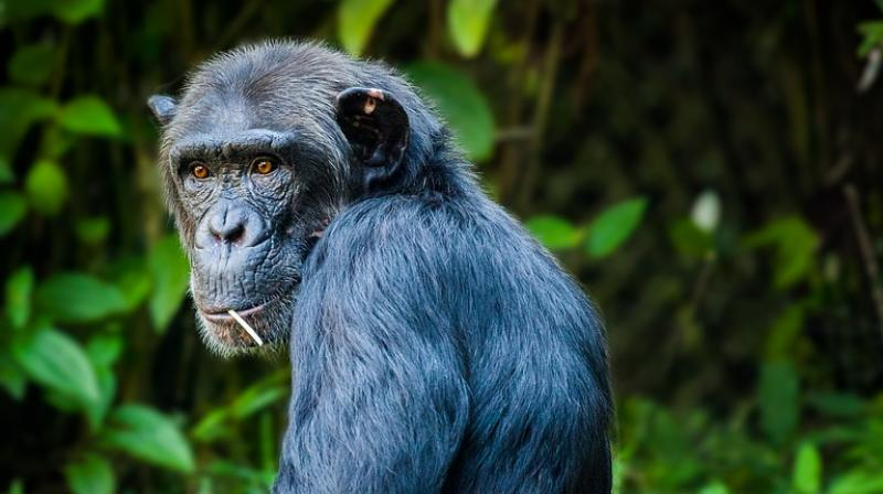 The agency said the seven animals are valued at Rs 81 lakh, with each chimpanzee worth Rs 25 lakh and a marmoset, a species of small long-tailed South American monkeys, about Rs 1.5 lakh. The case pertains to West Bengal government's complaint against alleged smuggler Supradip Guha for 'illegal possession' of wild animals.  (Photo: Pixabay | Representational)