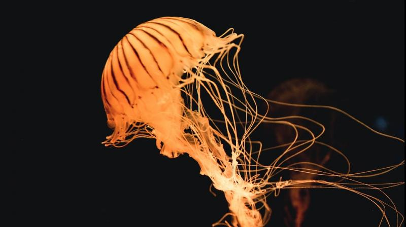 Ahead of Ganesh Chaturthi, the BMC has appealed to citizens to beware of jellyfish and sting that washes ashore Mumbai's coasts during Monsoon. Revellers who visit beaches at Dadar, Girgaon and Juhu to immerse Ganesh idols, tend to get stung by these marine organisms, which is pain-ful and causes irritation. (Photo: Pixabay)